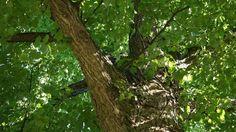 Linden Tree Bark