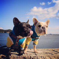 French Bulldogs, Frenchies