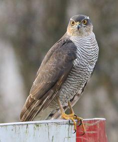 Different Types Of Eagles, Sparrowhawk, American Kestrel, Peregrine Falcon, Animal 2, Flora And Fauna, Birds Of Prey, Raptors, Animal Kingdom