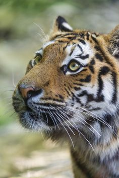 Looking up #tiger