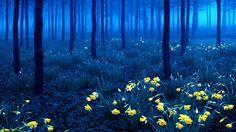 Forêt Noire, Allemagne La forêt Noire se situe dans un massif montagneux au Sud-Ouest de l'Allemagne. Ici les nombreuses jonquilles d'un jaune vif contrastent nettement avec la forêt sombre.