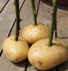 Como Plantar Rosas Por Estacas - Dicas do Plantio de Rosa com Batatas