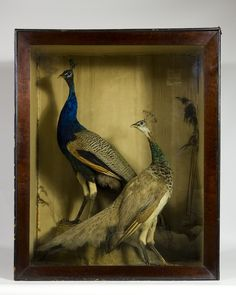 Taxidermy Peacocks