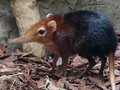 African animals, elephant shrew