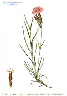 51 Dianthus carthusianorum1 L - Dianthus carthusianorum - Wikipedia, la enciclopedia libre