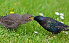 Starling Feeding Chick