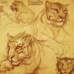 Marvelous Drawing Animals In The Zoo Ideas. Inconceivable Drawing Animals In The Zoo Ideas. Tiger Sketch, Tiger Drawing, Tiger Art, Animal Sketches, Animal Drawings, Art Sketches, Drawings Of Tigers, Cat Anatomy, Nature Sketch