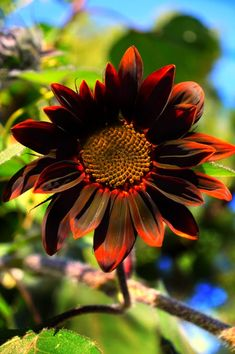 """ The Moulin Rouge Sunflower © Susan Kramer August 2016 All Rights Reserved Portland, Oregon US PDX "" Sunflower Patch, Giant Sunflower, Fall Flowers, Summer Flowers, Sun Flowers, Amazing Flowers, Beautiful Flowers, Sunflower Iphone Wallpaper, Growing Sunflowers"