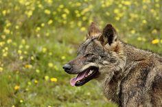 Lobo Iberico II (Iberian Wolf II)