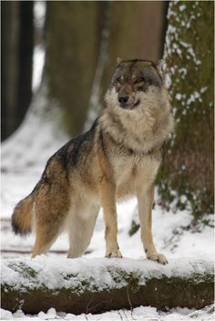 Wolf by Erich Obster**