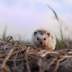 Weheartit.com #cute #hedgehog