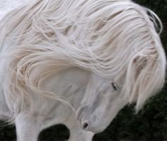 mane---I'm thinking about going baroque for my next dressage horse just for the mane!