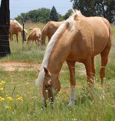 Napoleon - Palomino part Saddlebred Stallion Horses And Dogs, Cute Horses, Horse Love, Beautiful Horses, Wild Horses, Andalusian Horse, Friesian Horse, Arabian Horses, Caballo Haflinger