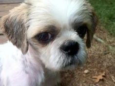 RHETT is an adoptable Shih Tzu Dog in Barium Springs, NC. Rhett is a very handsome cream and tan Shih Tzu. He is the sweetest boy ever! He is a small Shih Tzu weighing around 10 lbs. We estimate him t...