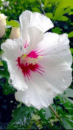 Your guide for all Amaryllis bulbs and dahlia tubers as well! Hibiscus Plant, Hibiscus Flowers, Tropical Flowers, Exotic Flowers, Beautiful Rose Flowers, Flowers Nature, Amazing Flowers, White Flowers, Amaryllis Bulbs