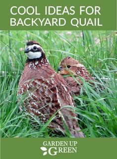 Get common sense tips for protecting quail on the homestead from snakes. It's easier than you might think. Raising Quail, Raising Ducks, Raising Chickens, Best Egg Laying Chickens, Types Of Chickens, Building A Chicken Coop, Diy Chicken Coop, Quail Coop, Duck Coop