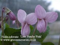 Lees Peachy Pink Violet. A very good vigorous violet. Dark green leaves and large peachy-pink flower with delicate perfume. Good for the novice violet grower.