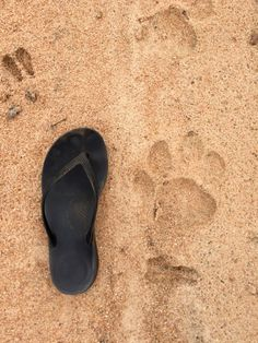 Lion tracks, KNP