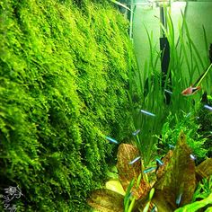 We can offer you many species of live aquarium plants. You will be able to design and create your own unique aquarium world filled with green plants. Especially we encourage you to look at foreground plants. You can arrange with them beautiful aquascape.