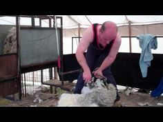 Sheep Shearing Agricultural Show Kirriemuir Angus Scotland  (Wee Gillis)