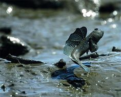 Euphoric Mudskipper leaps for joy! And possibly the promise of a maxibon.