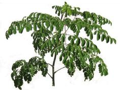 Here you can see the difference between Moringa Oleifera leaves and the leaves of Moringa Stenopetala. Moringa Oleifera leaves are smaller than Moringa Stenopetala leaves. Moringa Recipes, Miracle Tree, Moringa Leaves, Moringa Oil, Seed Pods, Growing Tree, Medicinal Herbs, Organic Gardening, Vegetable Gardening