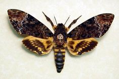 Deaths Head Hawk Moth Silence Of The Lambs