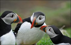 More Puffins...
