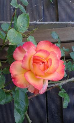 Fresh Orange Roses