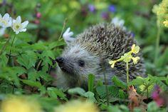 Kostenloses Bild auf Pixabay - Igel, Frühling, Tier