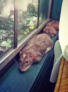 Introducing Jack and Gus - Rat Brothers | Pawsitively Pets - Big boy rats doing what big boy rats do best.... Monorail rats.