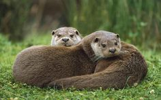 Image result for british otters