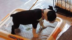 7 weeks old Boston Terrier already potty trained (how to train to use th...