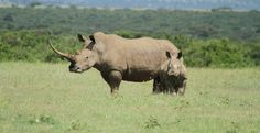 Rhino Horn: The Most Expensive Placebo