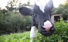 Meet Luna: The Baby Calf the Dairy Industry Wanted to Kill