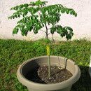 El cultivo del árbol de Moringa   #Huerto urbano - Huerto ecológico ecoagricultor.com