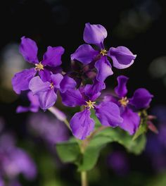 Orychophragmus violaceus - Tree - Chinese Violet Cress, February Orchid - Price per 1 packet Common Garden Plants, Home Garden Plants, Orchid Seeds, Flower Seeds, Purple Plants, Purple Flowers, Seeds For Sale, Garden Bulbs, Cress
