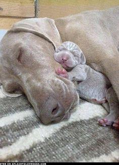 Weimaraner Mom with newborn