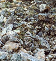 Amazing Animal Camouflage A pika is an animal related to the rabbit. Can you find it hiding in these rocks?