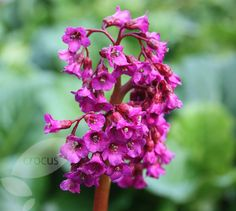 Buy elephant's ears (syn. Evening Glow) Bergenia 'Abendglut': Delivery by Crocus.co.uk