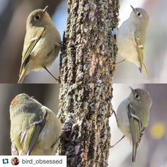 Beautiful photo of a Ruby-crowned Kinglet at #heardnaturalsciencemuseum by @bird_obsessed. with @repostapp.  ruby-crowned kinglet These little fellas are incredibly difficult to capture. I couldn't decide which photo to post so... #birdphotography #birdnerd #rubycrownedkinglet #feather_perfection #global4nature #photoarena_nature #thetweetsuites #eye_spy_birds #nuts_about_birds #nationalgeographic #audobonsociety #bestbirdshots #your_best_birds #officialphotography_hub #instabird…