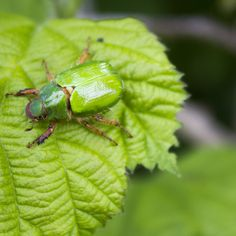 El pololo verde, San Juan, sanjuán verde, juanito, ololo verde o gusano blanco (Hylamorpha elegans) es una especie de coleóptero escarabeido de la subfamilia de los rutelinos que habita en el sur de Chile desde la región de o´higgins hasta la de Los Lagos, desde el nivel del mar hasta los 1.500 m.s.n.m. y en Argentina en el parque nacional Nahuel Huapi.1 El insecto adulto es de color verde, mide de 1,5 a 1,8 cm de largo, es bastante común en su área de distribución. Thing 1, Chile, Animals, Blog, Lakes, National Parks, Insects, San Juan, White People