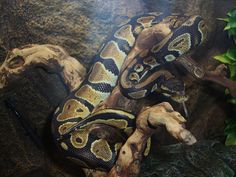 Royal Python by Tony Wharton Added as an entry to our Reptile Photograph competition.