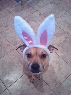 Easter Pet Health Tip: Keep the chocolate treats far from paw's reach this Easter! Chocolate is toxic to dogs and cause stomach upset or lead to a trip to the emergency room if ingested.