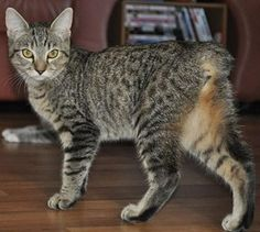 Rare cat breeds and Breed information - Manx