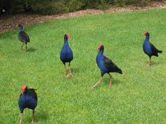 Pukeko Facts present the detail information about a unique animal named from the Maori language. Pukeko is the common name of the purple sawmphen that you can find in New Zealand. The Beautiful Country, Beautiful Birds, New Zealand Beach, Nature Story, Kiwiana, Wale, Australian Birds, Animal Projects, Creature Feature