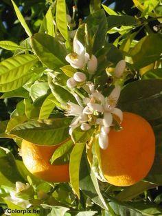 Azahares y naranjas