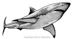 Animal Pics- Great White Shark.jpg (600×319)
