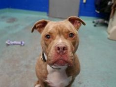 SUPER URGENT 02/18/17 **AMAZING AVERAGE RATING!! ON PUBLIC LIST!**A volunteer writes: She might have a goofy name and a grumpy face, but Gummybear is as sweet as they come!  She has been perfect on leash whenever I've walked her, seems very housebroken, and diligently