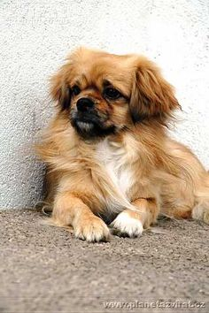 "Our Tibetan Spaniel......""Candy Hotdog""....the name?...it's a looooong story. She is intelligent, and angel and has been my guardian for 12 years."